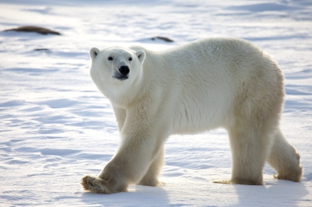 polar-bear-2-1